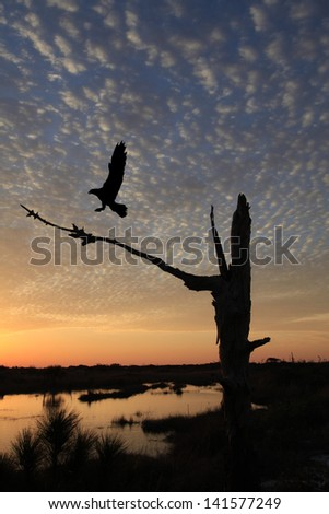 Osprey Landing on a Dead Pine Tree with A Beautiful Sunrise in the Background - stock photo
