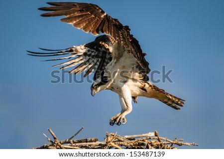 Osprey landing on a nest over a prairie lake, Alberta Canada - stock photo