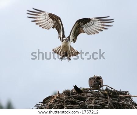 Osprey landing on its nest of sticks. - stock photo