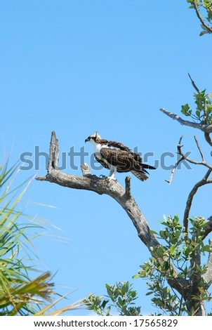 Osprey on Sanibel Island, FL - stock photo