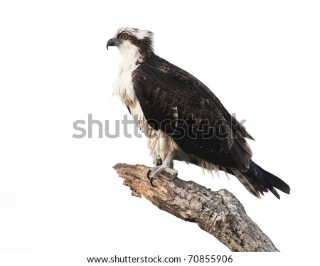 Osprey on tree branch with gray sky background