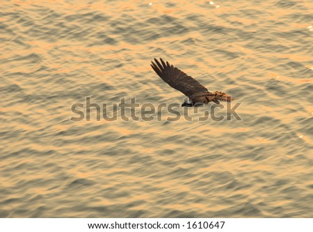 Osprey over sunset waters