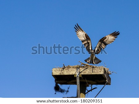Osprey pair flying in and out of their nest and eating fish. - stock photo