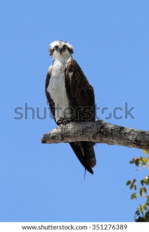 Osprey (Pandion haliaetus) in a tree against a blue sky - stock photo