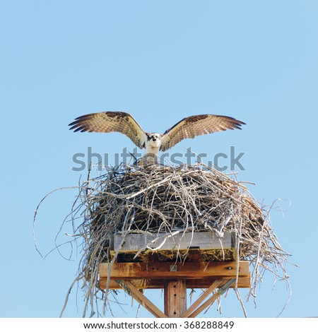 Osprey (pandion haliaetus) landing at its nesting site wings spread glaring at the intruder taking photographs - stock photo