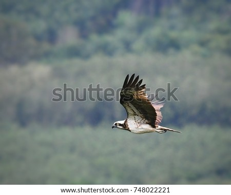 Osprey (Pandion haliaetus), migratory raptor or bird of prey, flying and gliding over green rubber tree plantation at Khao Dinsor hill, Chumphon, Thailand. Beautiful scenery of wildlife in nature.