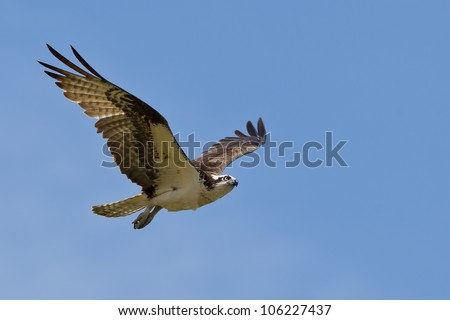 Osprey (Pandion haliaetus).  The Osprey, sometimes known as the sea hawk, fish eagle or fish hawk, is a diurnal, fish-eating bird of prey.