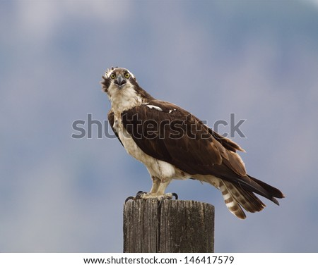 Osprey perched atop a wood post, screaming with beak open Ospreys are also known as Sea Hawk, Seahawks, Fish Hawk, Sea Eagle, Pandion haliaetus  - stock photo