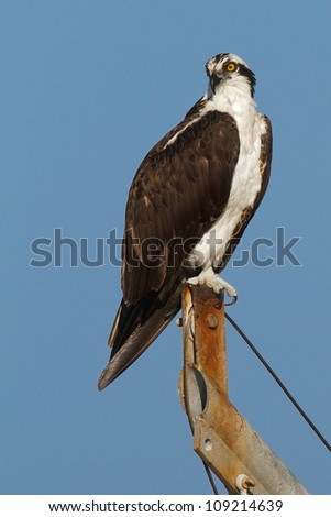 Osprey perched on a boat mast, blue sky all around, Florida