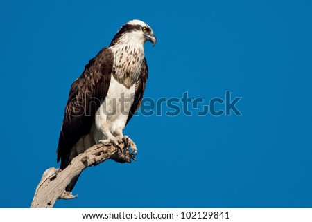 Osprey perched on a branch against a solid blue sky.