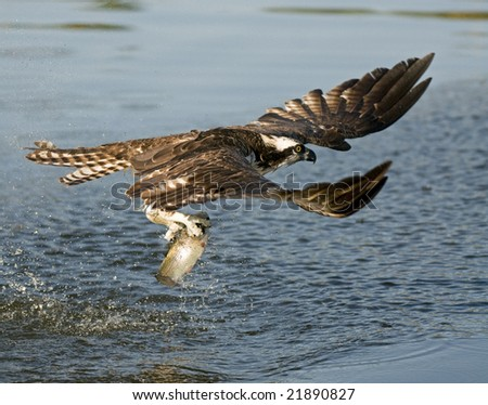 Osprey pulling trout from the water