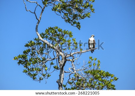Osprey Sitting on a Tree Branch Against Deep Blue Sky - stock photo