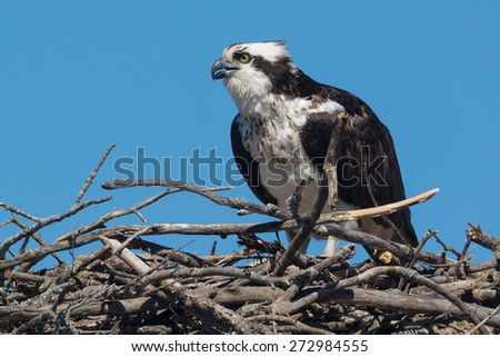 Osprey sitting up on her nest keeping an eye out for potential danger. - stock photo