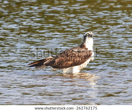 Osprey Standing in the Bay - stock photo
