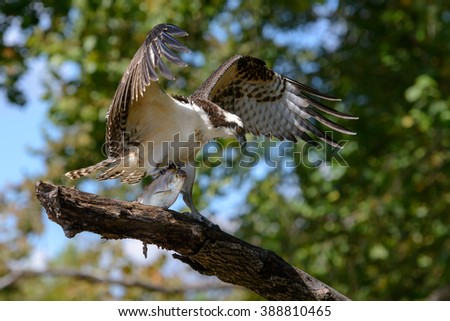 Osprey With Fish - Perched Wings Open - stock photo