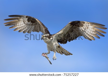 Osprey with prey in flight. Latin name - Pandion haliaetus. - stock photo