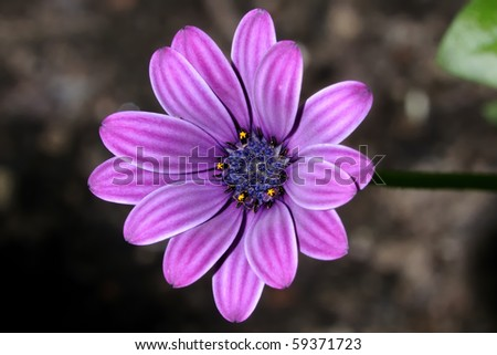 osteospermum - stock photo