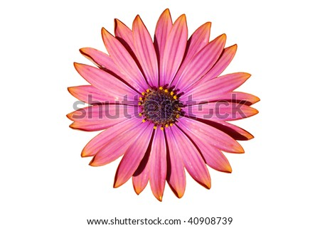 Osteospermum (African daisy) isolated on a white background.