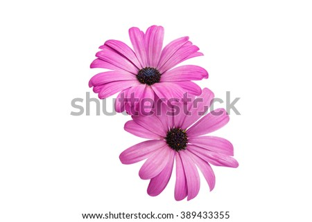 Osteosperumum Flower Daisy Isolated on White Background. Macro Closeup - stock photo
