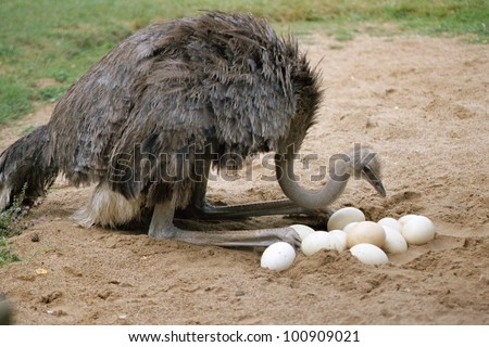 Ostrich and eggs in nest - stock photo