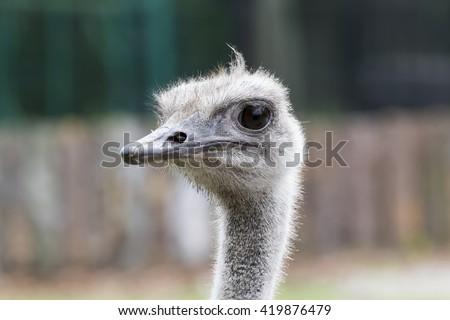 Ostrich cautiously looks around - stock photo