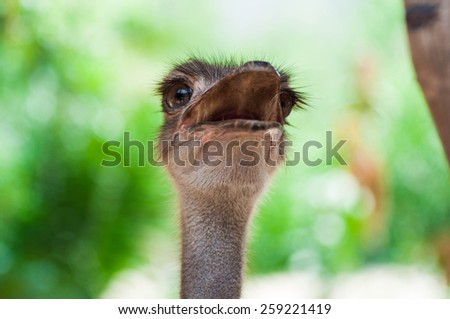 ostrich close-up - stock photo