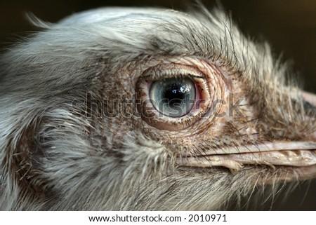 ostrich close-up portrait - stock photo