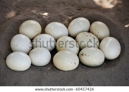 Ostrich eggs in a scoop in the sandy ground - stock photo