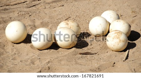 Ostrich eggs in the Klein Karoo, South Africa - stock photo