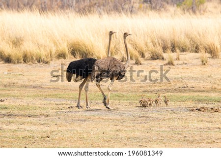 Ostrich family - stock photo