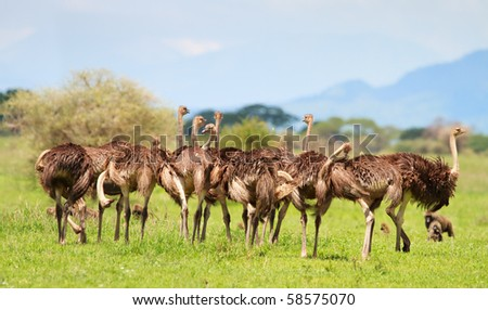 Ostrich family in Serengeti national park in Tanzania