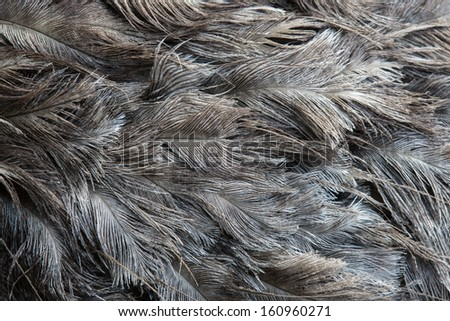 Ostrich feather - stock photo
