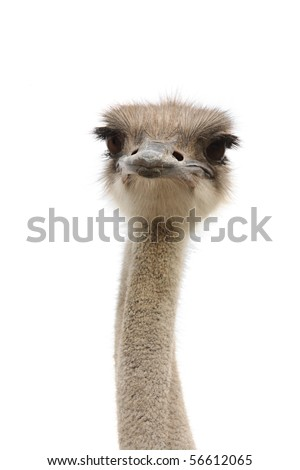 ostrich female head isolated - stock photo