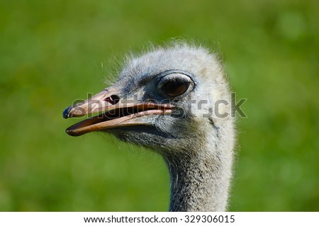 Ostrich Head - stock photo