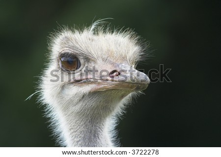 Ostrich head close-up.