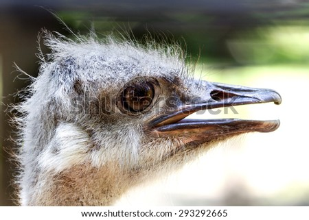 Ostrich head close up. Ostrich Ostrich or type is one or two species of large flightless birds native to Africa - stock photo