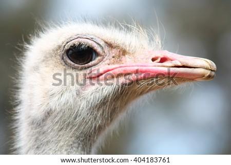 Ostrich head closeup. - stock photo