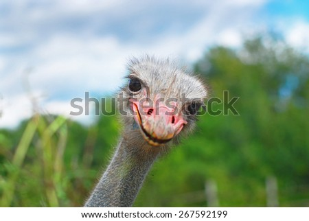 Ostrich head closeup on the field - stock photo