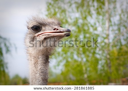 Ostrich head closeup outdoors - stock photo