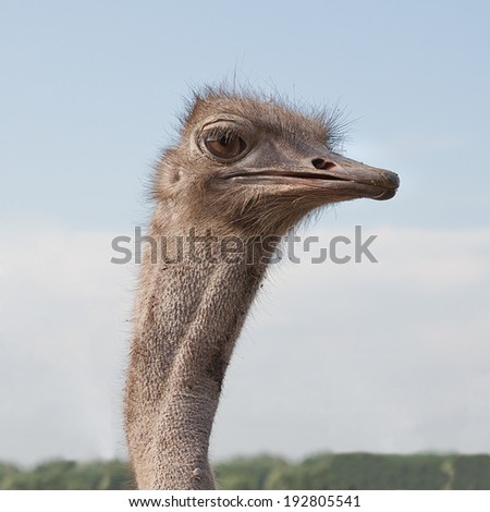 Ostrich head in the wild on sky background - stock photo
