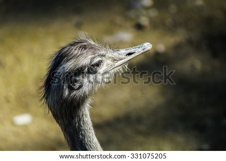 Ostrich Head looking forward, wildlife or zoo - stock photo