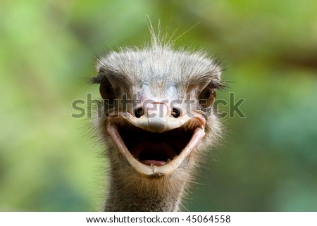 Ostrich in a farm looks alike smiling at us. - stock photo