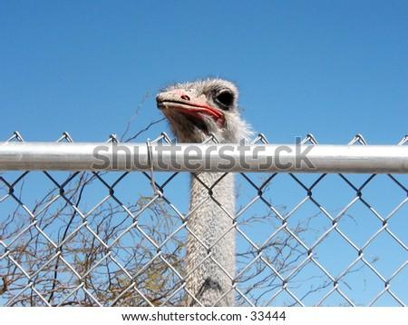Ostrich in a zoo in Las Vegas. Peeking his head over gate. - stock photo