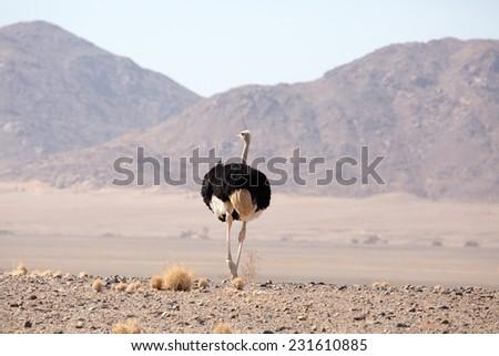 Ostrich in Desert, Namib-Naukluft National Park, Namib - stock photo