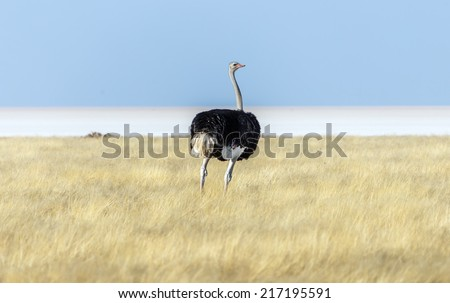 Ostrich in Etosha National Park - Namibia, South-West Africa - stock photo