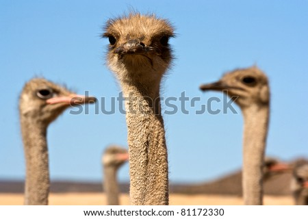 Ostrich in South Africa - stock photo