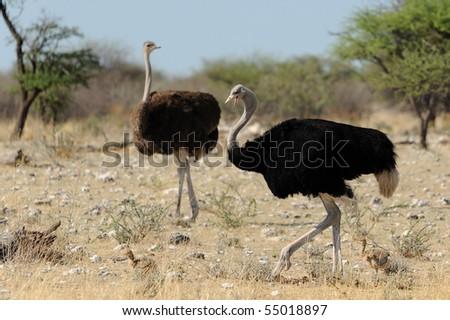 Ostrich in the bush - stock photo