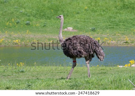 ostrich in the zoo. - stock photo