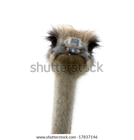 ostrich isolated on white background