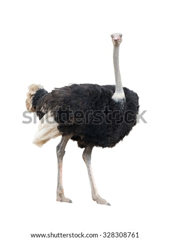 ostrich isolated on white background - stock photo